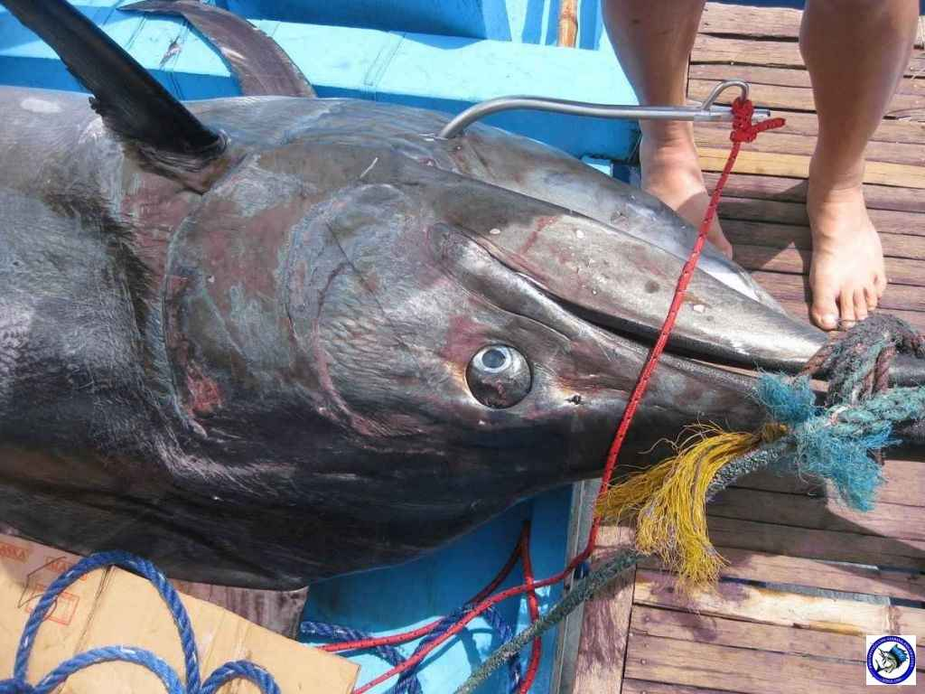 Philippine Sport Fishing 318kg Black Marlin06.JPG