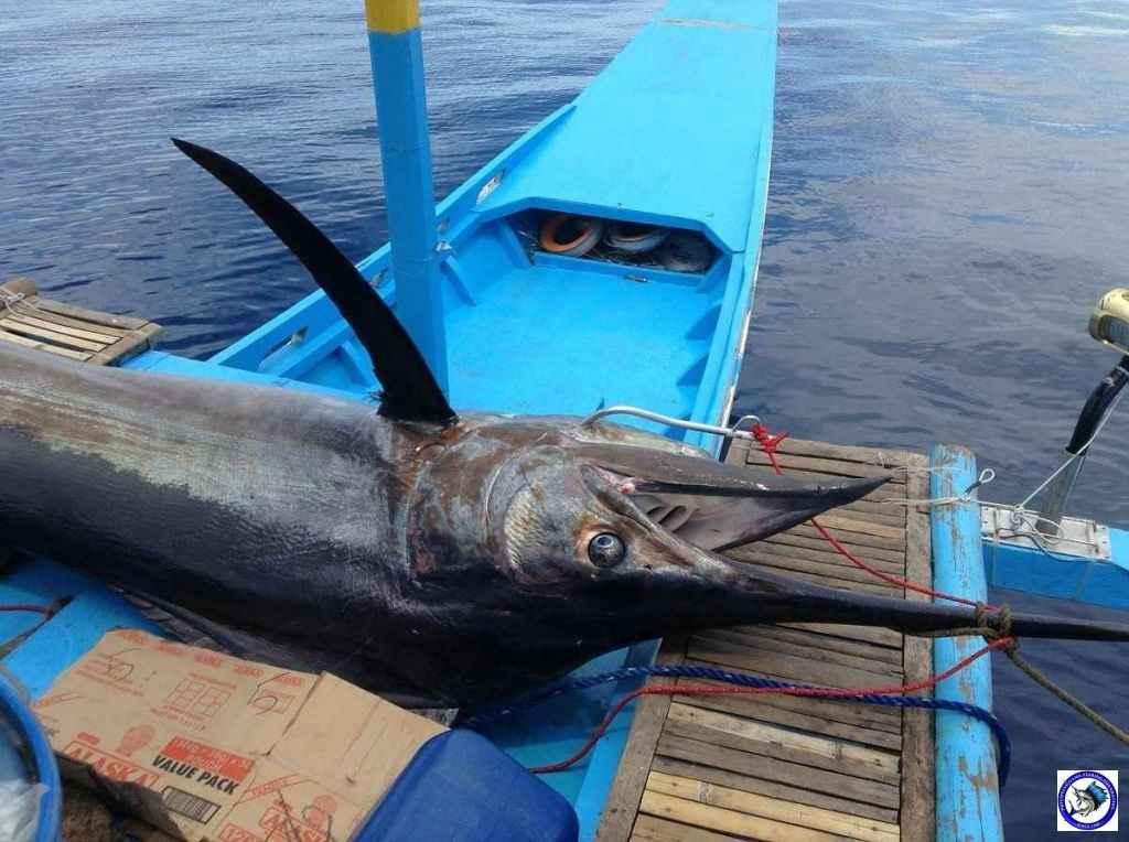 Philippine Sport Fishing 318kg Black Marlin13.JPG