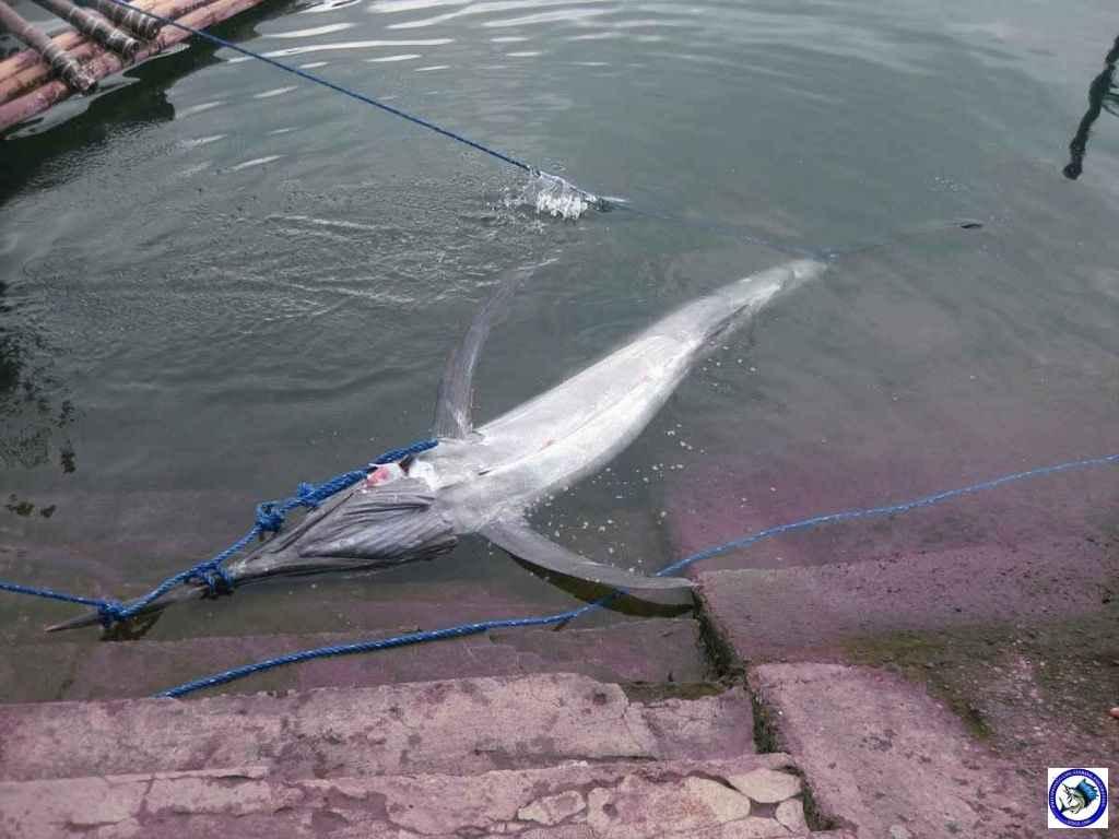 Philippine Sport Fishing 318kg Black Marlin15.JPG
